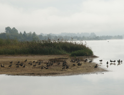 Wildenten am Kiessee